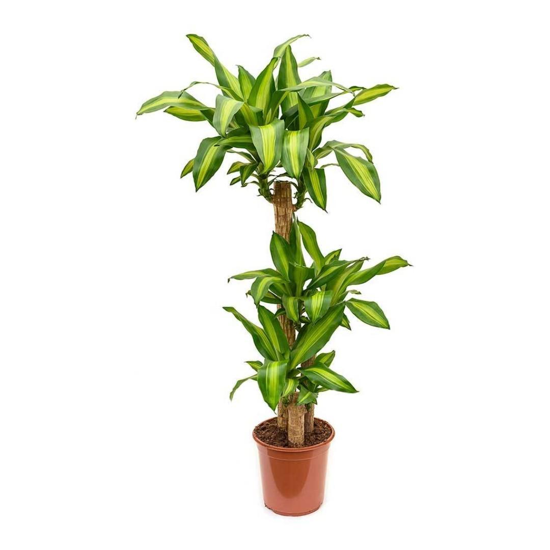 الخيزران ماسانجينا  نباتات داخلية