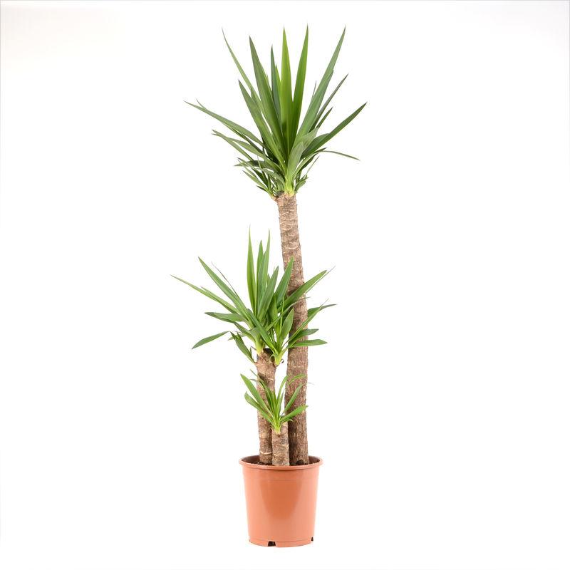 Yucca P25 ALJ 'Indoor Plants'
