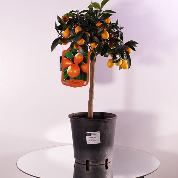 Citrus Cumquat Premium Collection