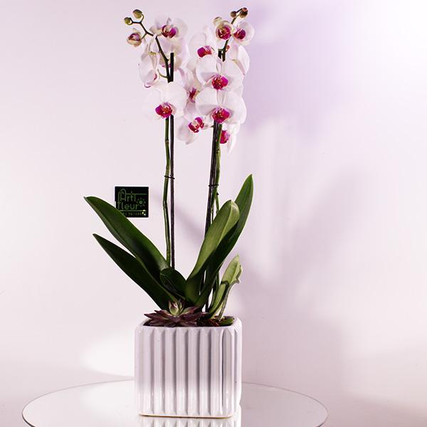 Phallaenopsis Red Lips 'Premium Collection'
