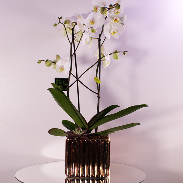 Phallaenopsis Spray 'Premium Collection'