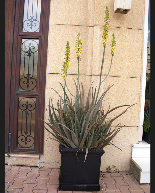 Aloe Vera Xxl Premium Collection