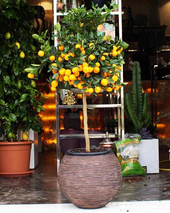 1 Citrus Calomondin Premium Collection