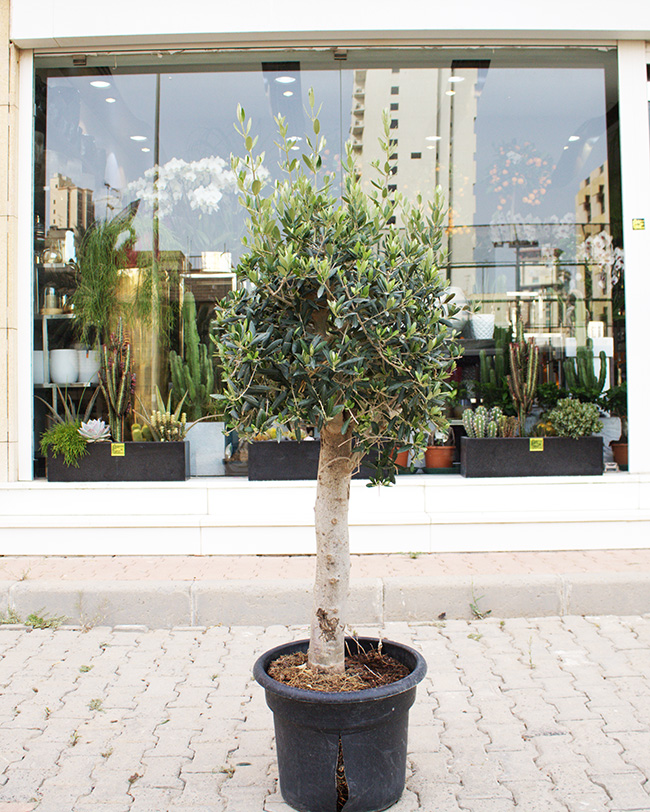 1 Olive Tree Premium Collection