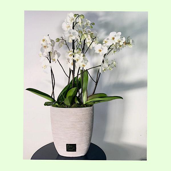 Capi oval 3 Plants Premium Collection