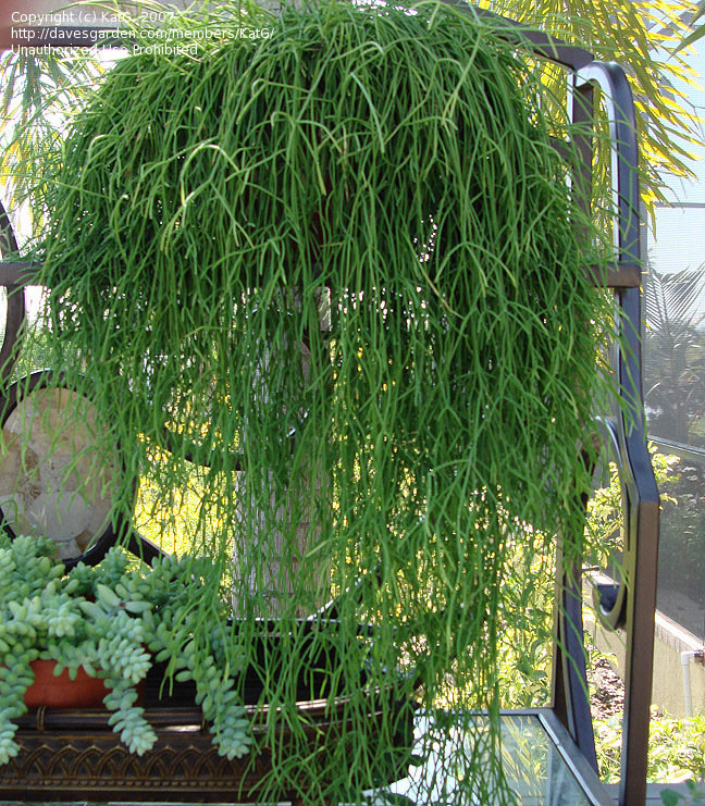 Rhipsalis Xxl 'Premium Collection'