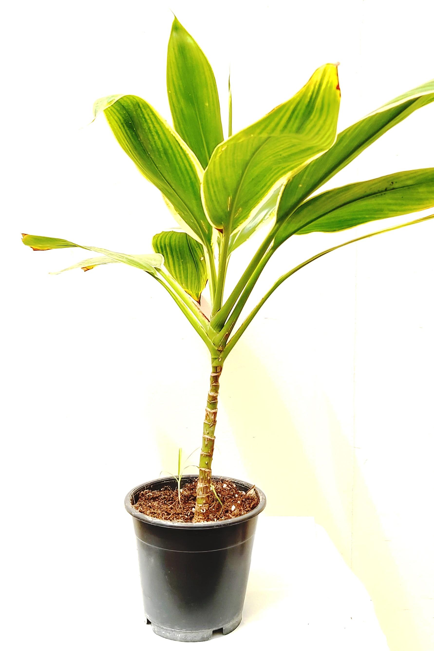Cordyline Fruticosa Glauca Indoor Plants
