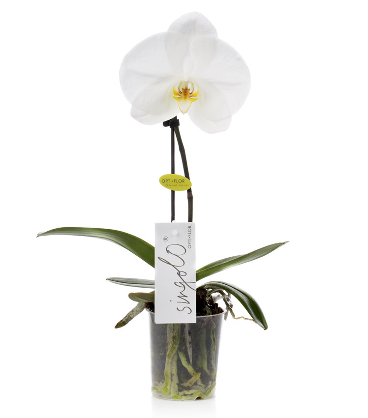White singolo orchid  Indoor Plants