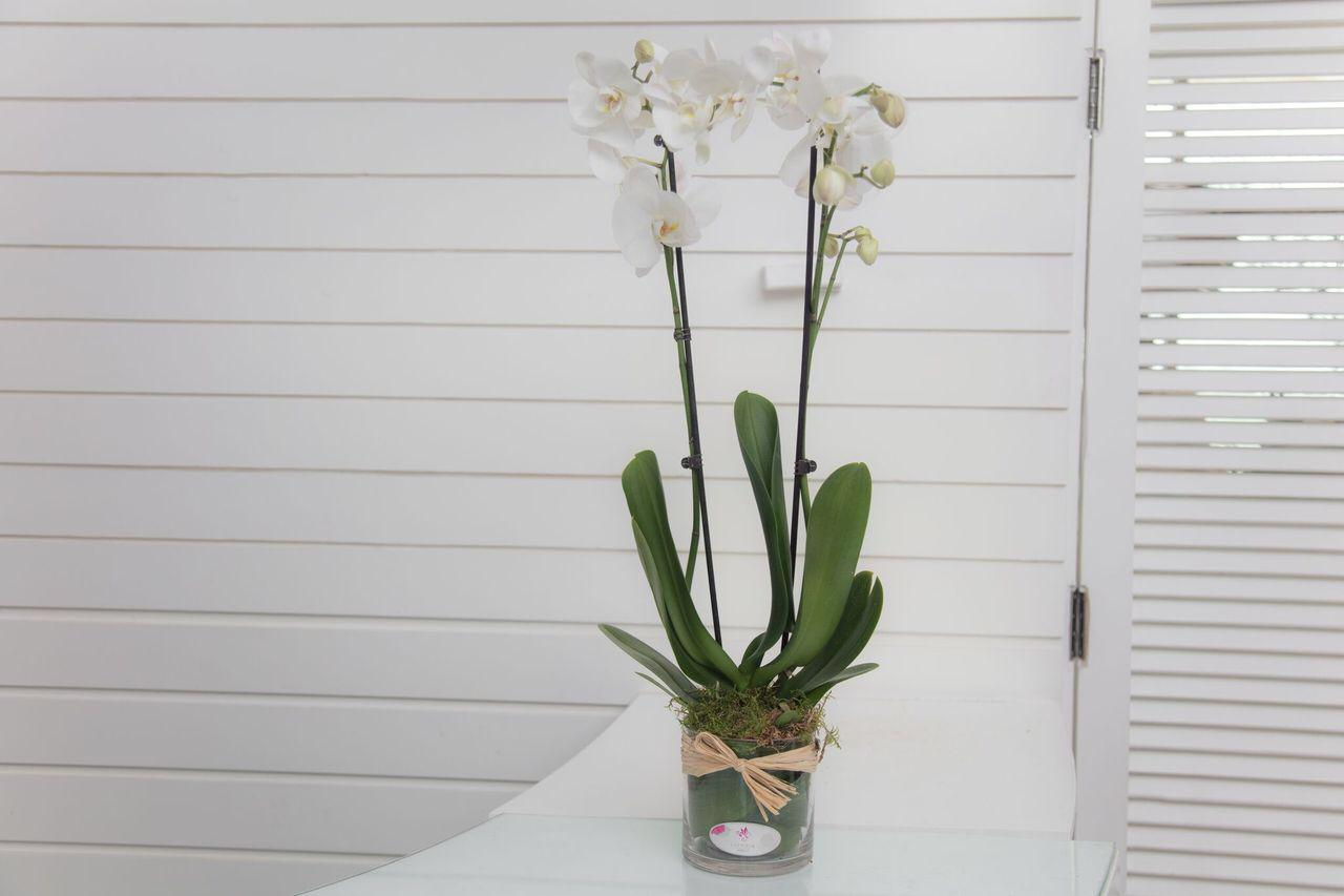 Phalaenopsis Plants White With Cle Ar Pot Wholesale Flowers