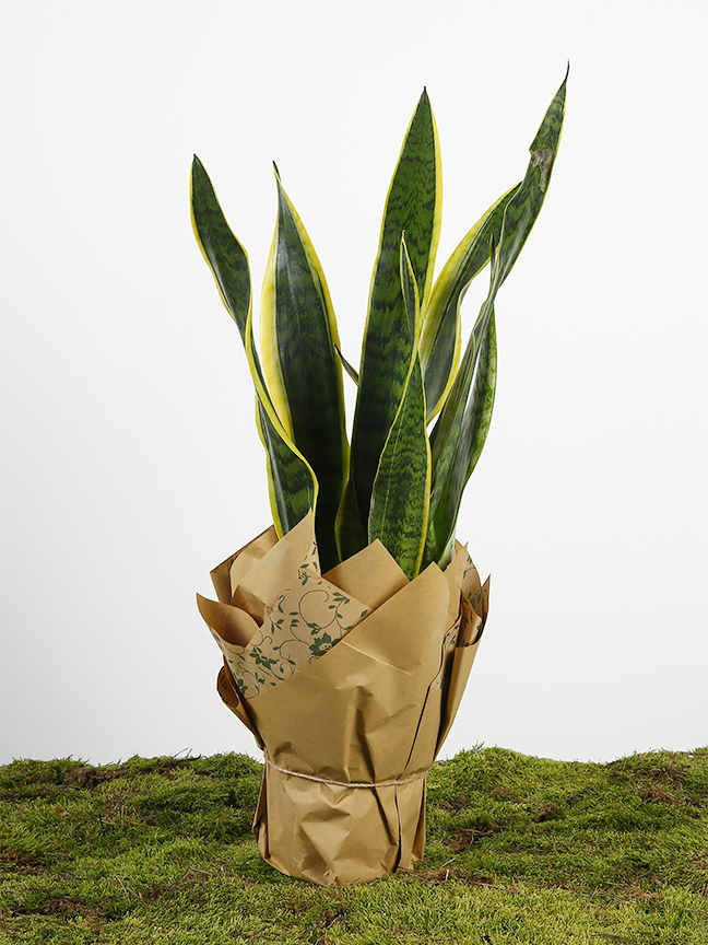 Sansevieria  Indoor Plants