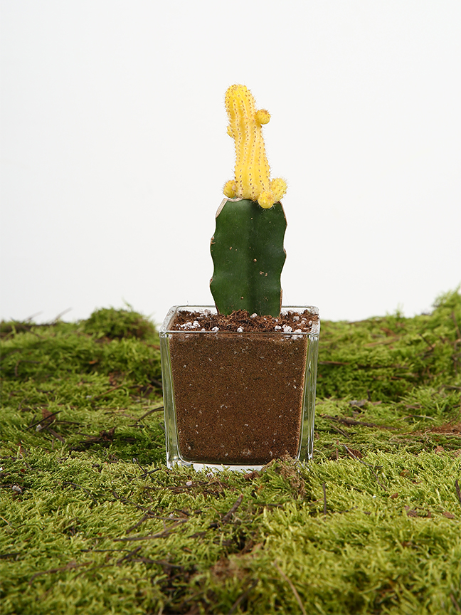 Yellow Cactus  Office Plants