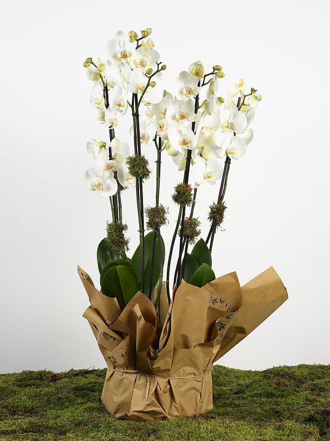 White orchid plant  Indoor Plants