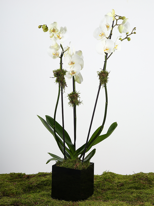 White Phalaenopsis Indoor Plants