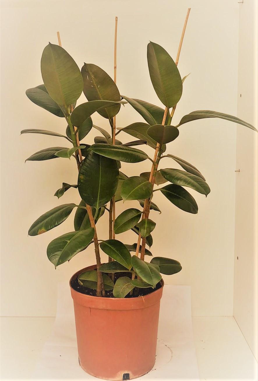 Ficus Robusta 3 stem Indoor Plants
