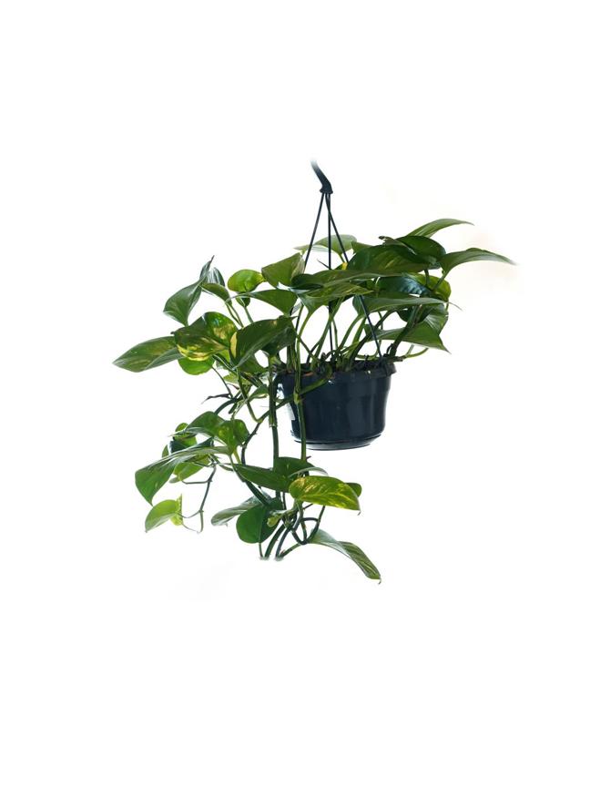 ايبريمنيوم أوريوم للتعليق نباتات داخلية