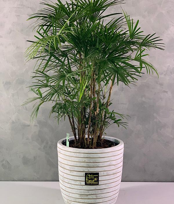 Raphis Humillis bush Office Plants