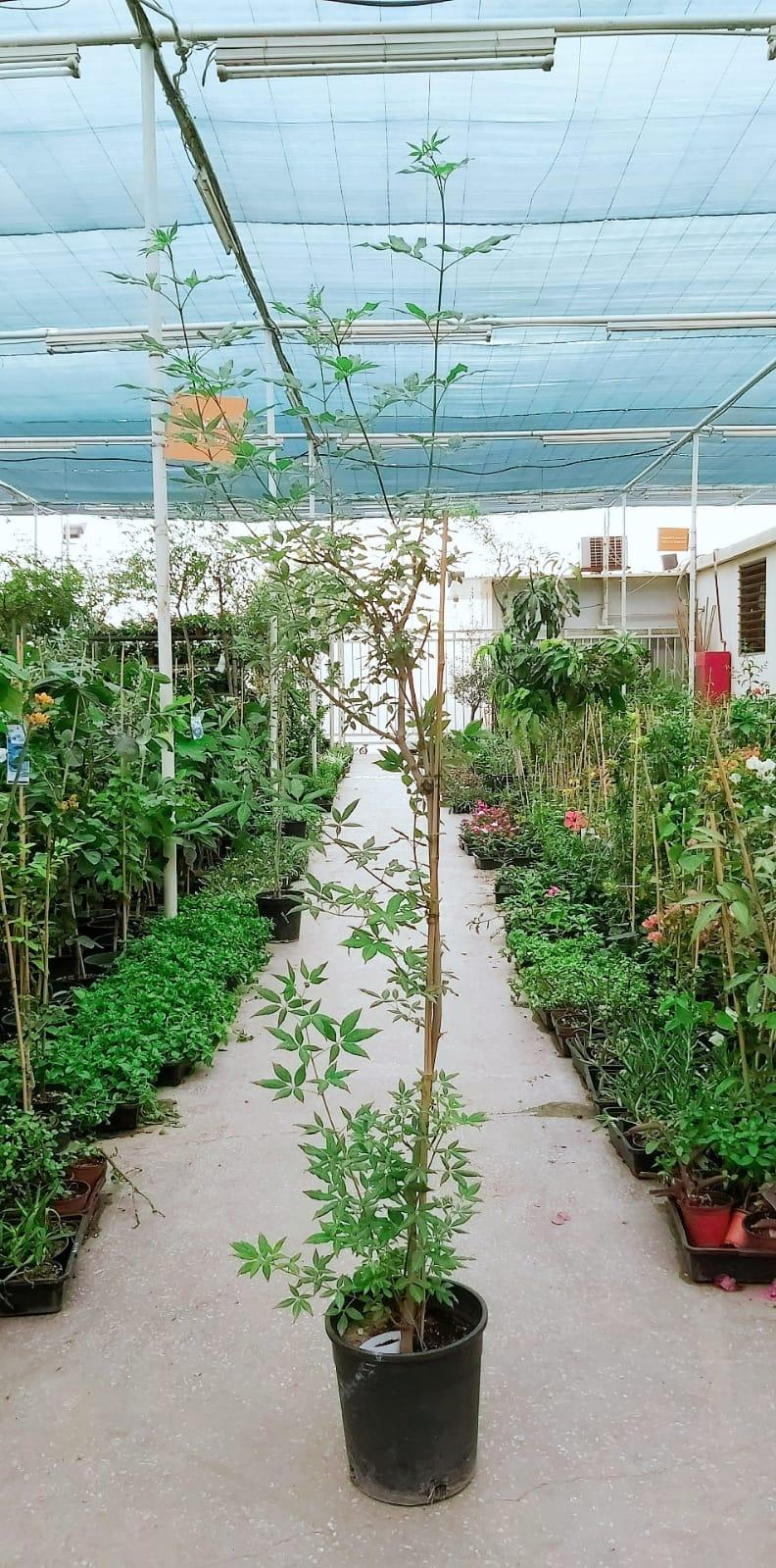 Vitex Agnus-castus 'Outdoor Plants'