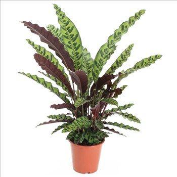 كالاتيا إنسيغنيس نباتات داخلية