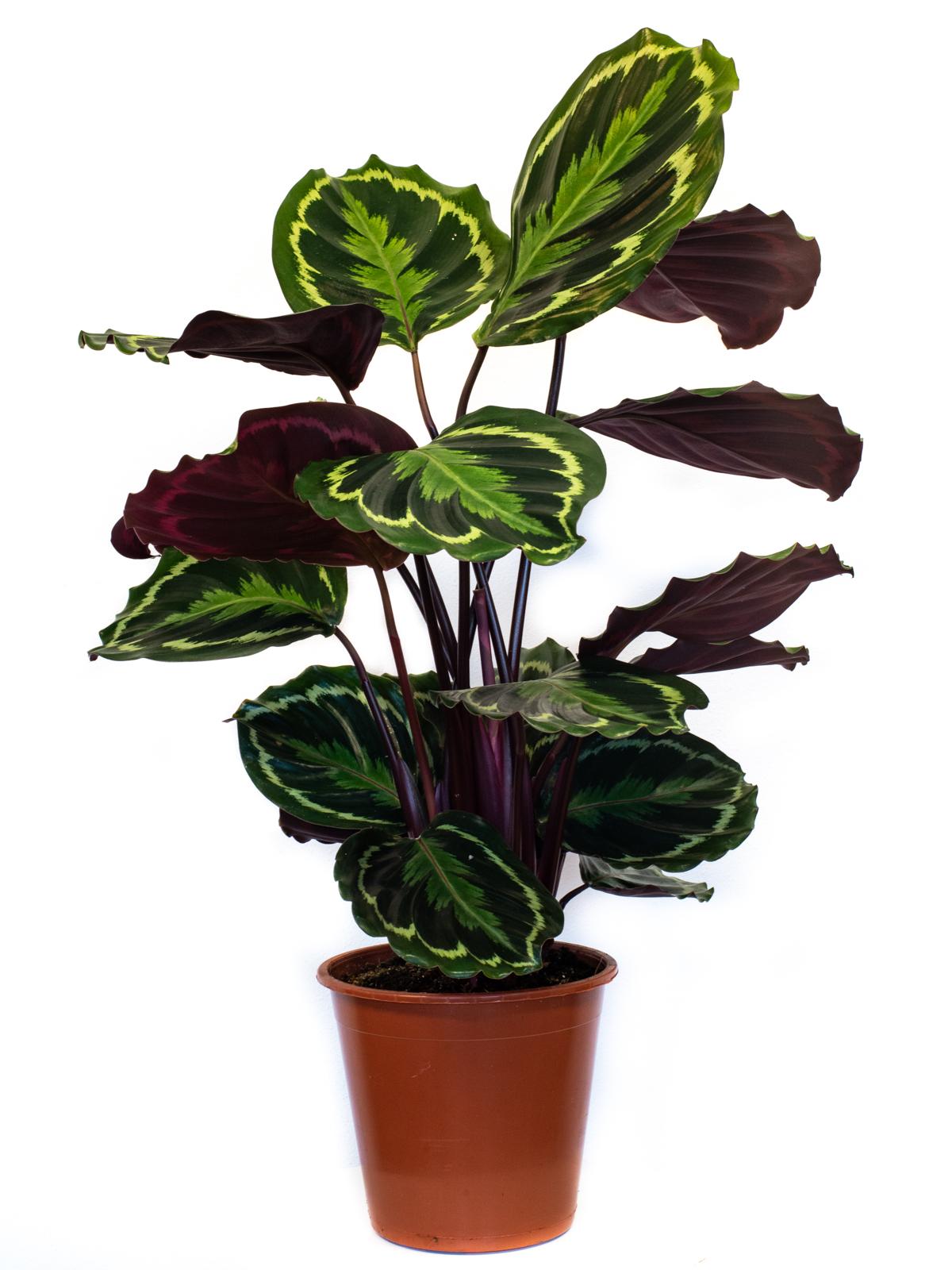 Calathea Roseopicta Medallion  Indoor Plants