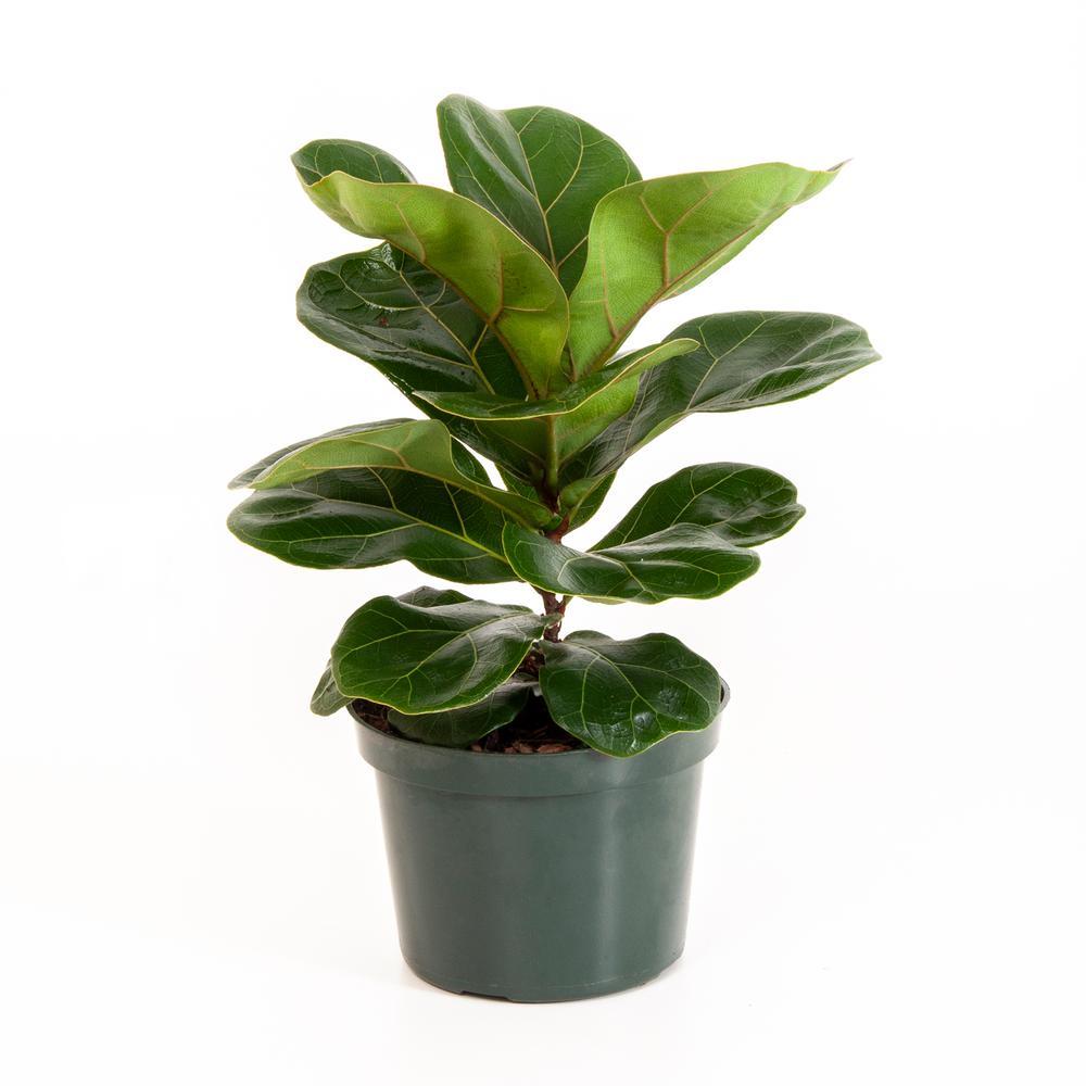 فايكس ليراتا القزم 'نباتات داخلية'