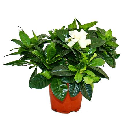 جاردينيا ياسمينويديس 'نباتات داخلية'