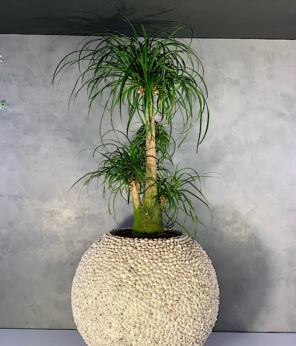 Shell Planter With Beaucarnea 'Premium Collection'