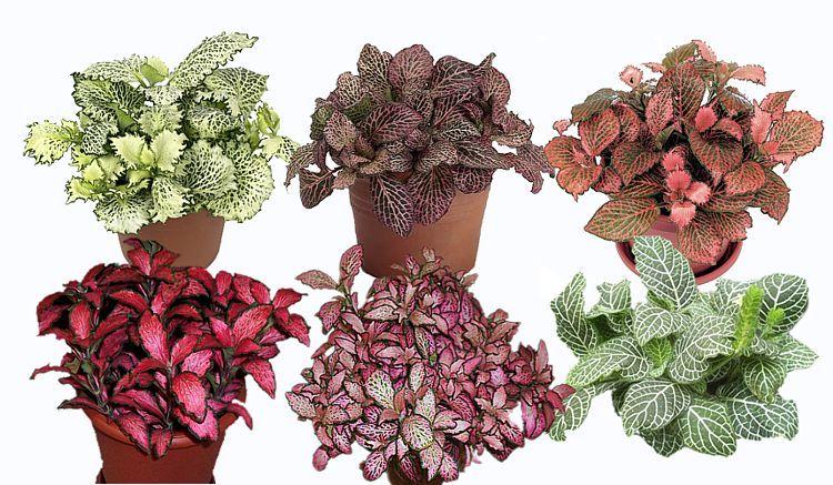 Fittonia Mix Color Per Piece 'Indoor Plants'