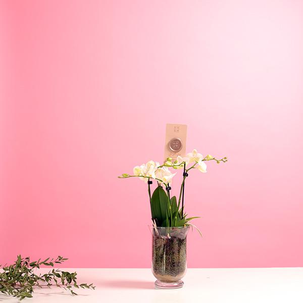 اوركيد - ابيض نباتات داخلية