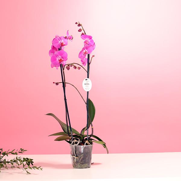 Phalaenopsis Orchid Purple Indoor Plants