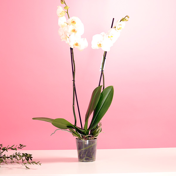 White Orchid Indoor Plants