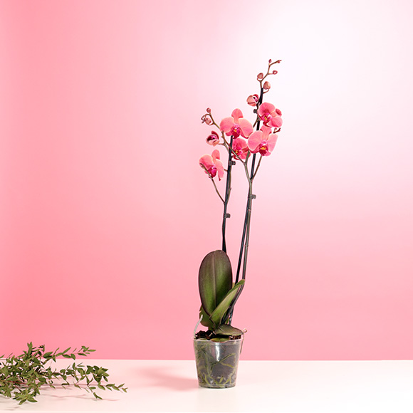 Blush Orchid  Indoor Plants
