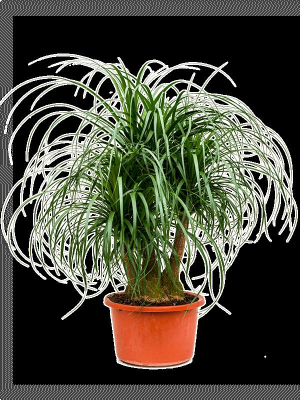 بيوكارني نباتات داخلية