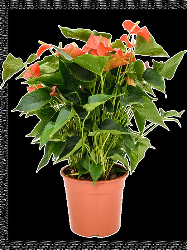 أنثوريوم سكرزريانوم نباتات داخلية