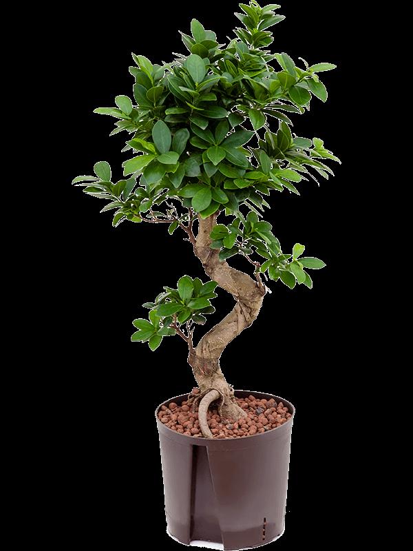 ficusS bonsai 1 Indoor Plants