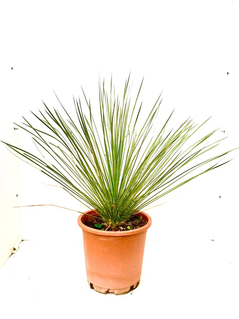 ڈیسیلیرین سیراٹیفولیم 'نباتات خارجية'