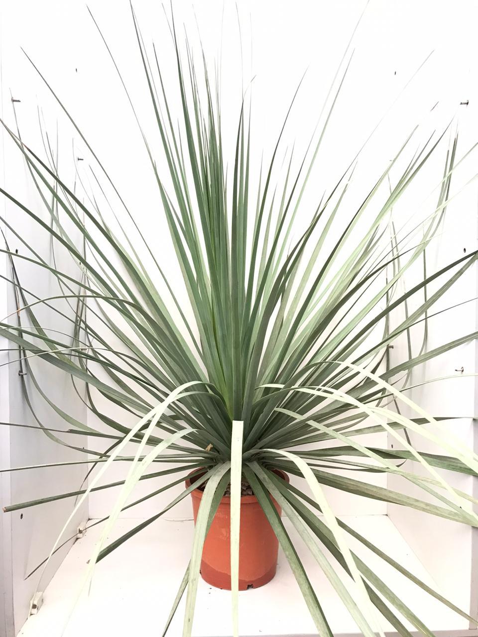 Nolina Nelsonii Outdoor Plants