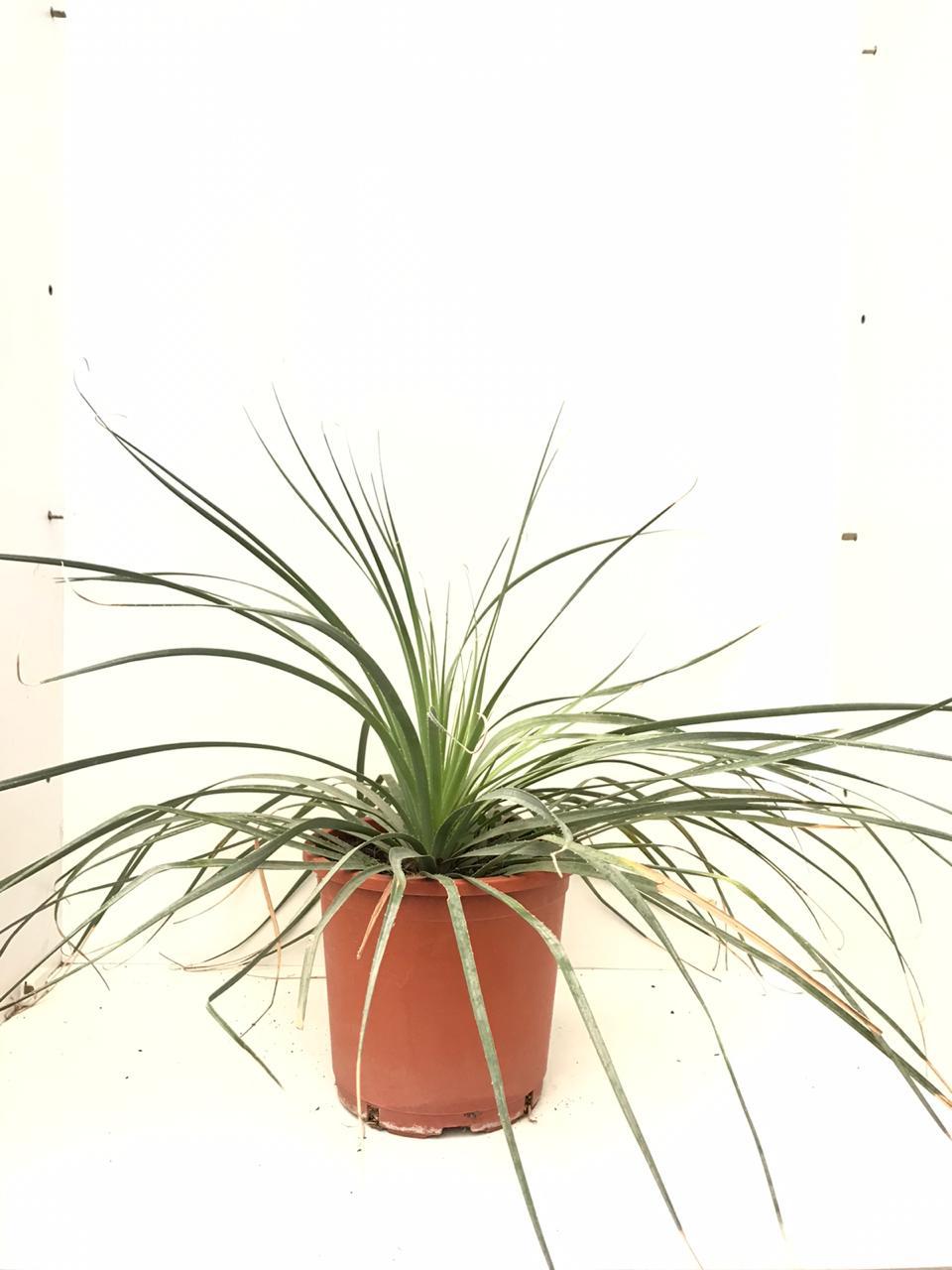 يوكا كامبستريس 'نباتات خارجية'