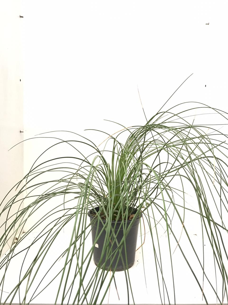 Dasylirion Longissimum 'Outdoor Plants'