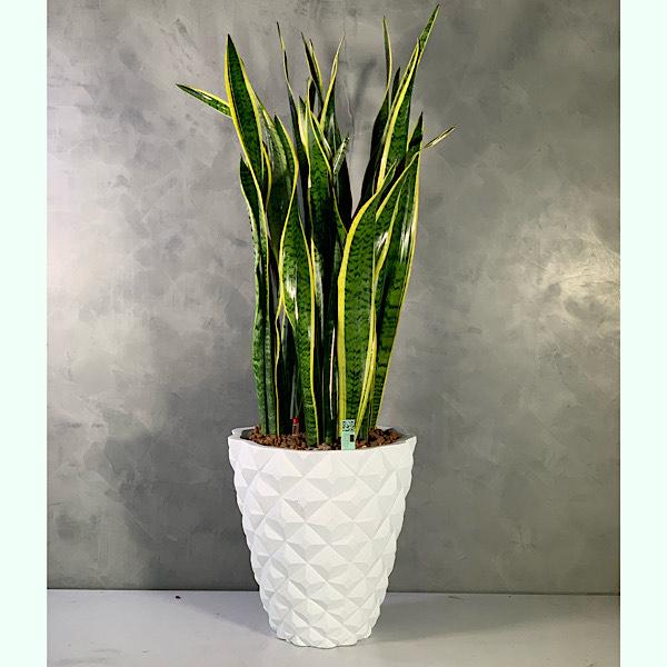 sansevirea delux Office Plants
