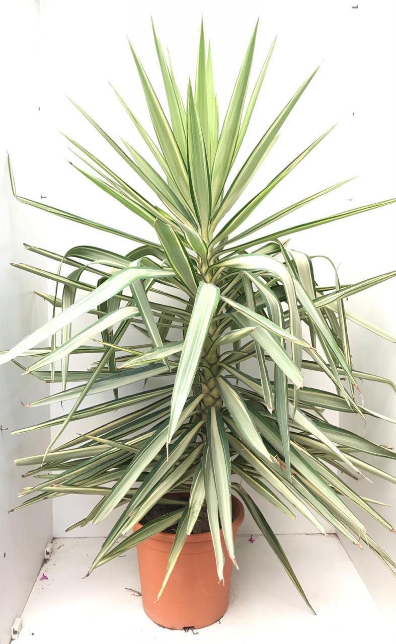 Yucca Elephantipes 'Jewel' L 'Outdoor Plants'