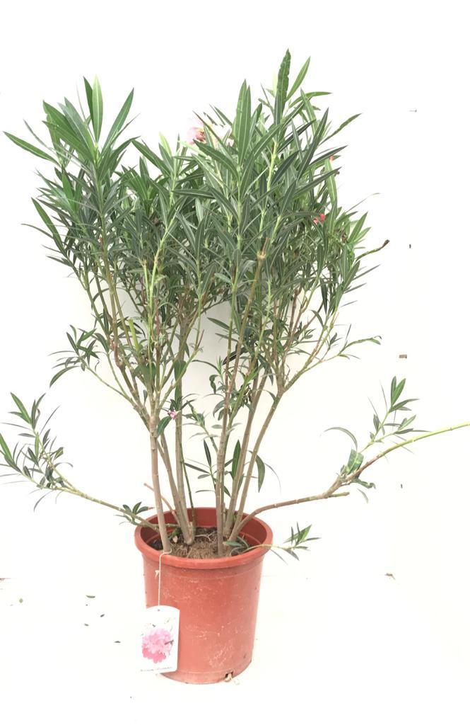 Nerium Oleander Big Bushy Tricolor Defla   Outdoor Plants