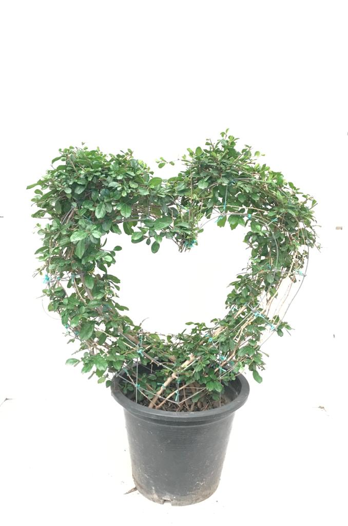 Carmona Heart Shape Outdoor Plants