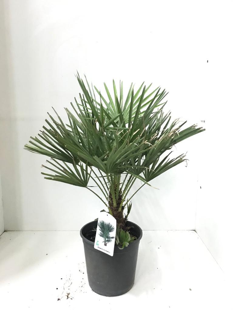 تشاميروبس نباتات خارجية