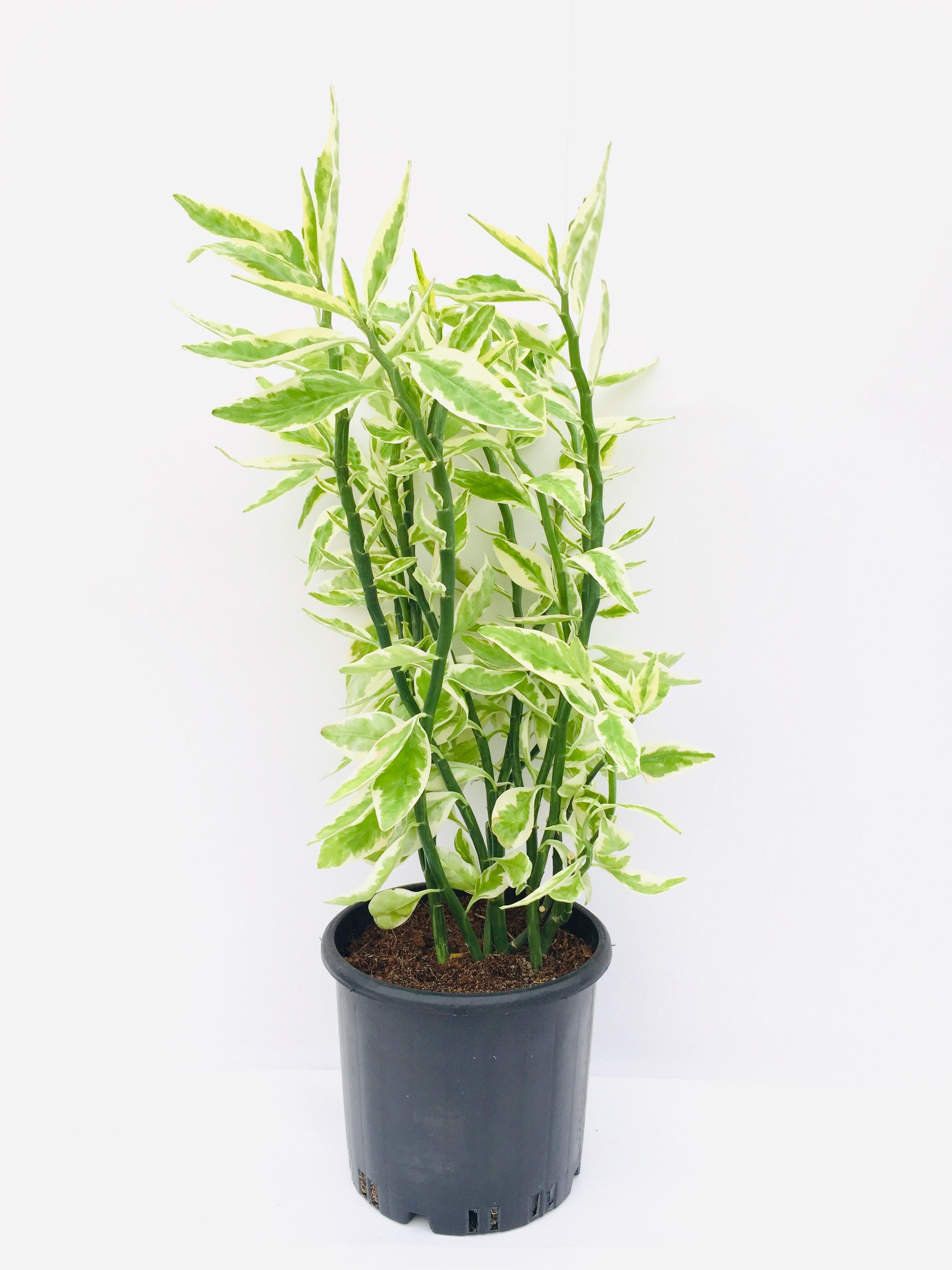 Pedilanthus Tithymaloides Outdoor Plants