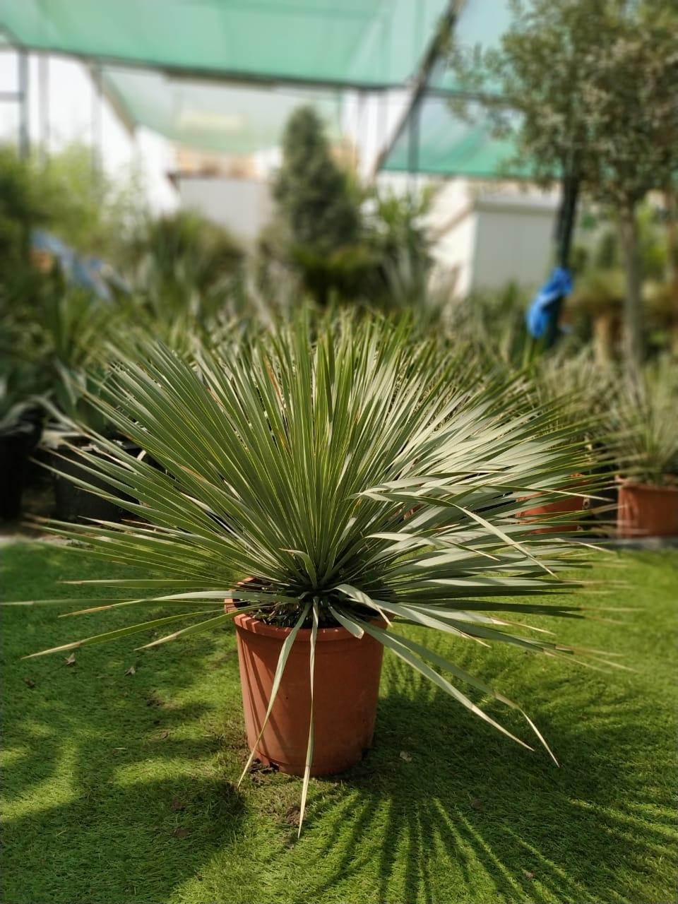 Yucca rostrata  Outdoor Plants