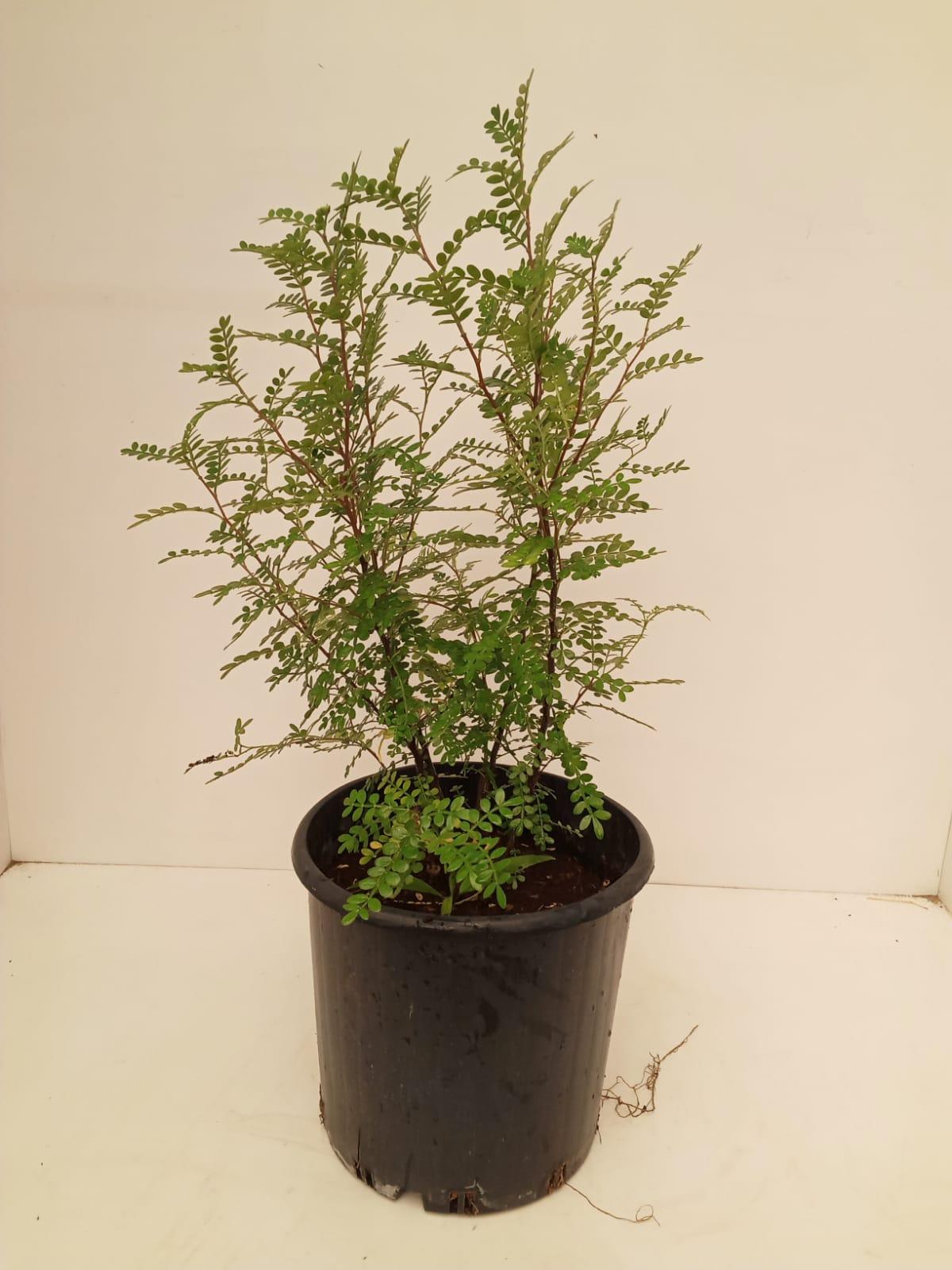 Zanthoxylum beecheyanum Outdoor Plants