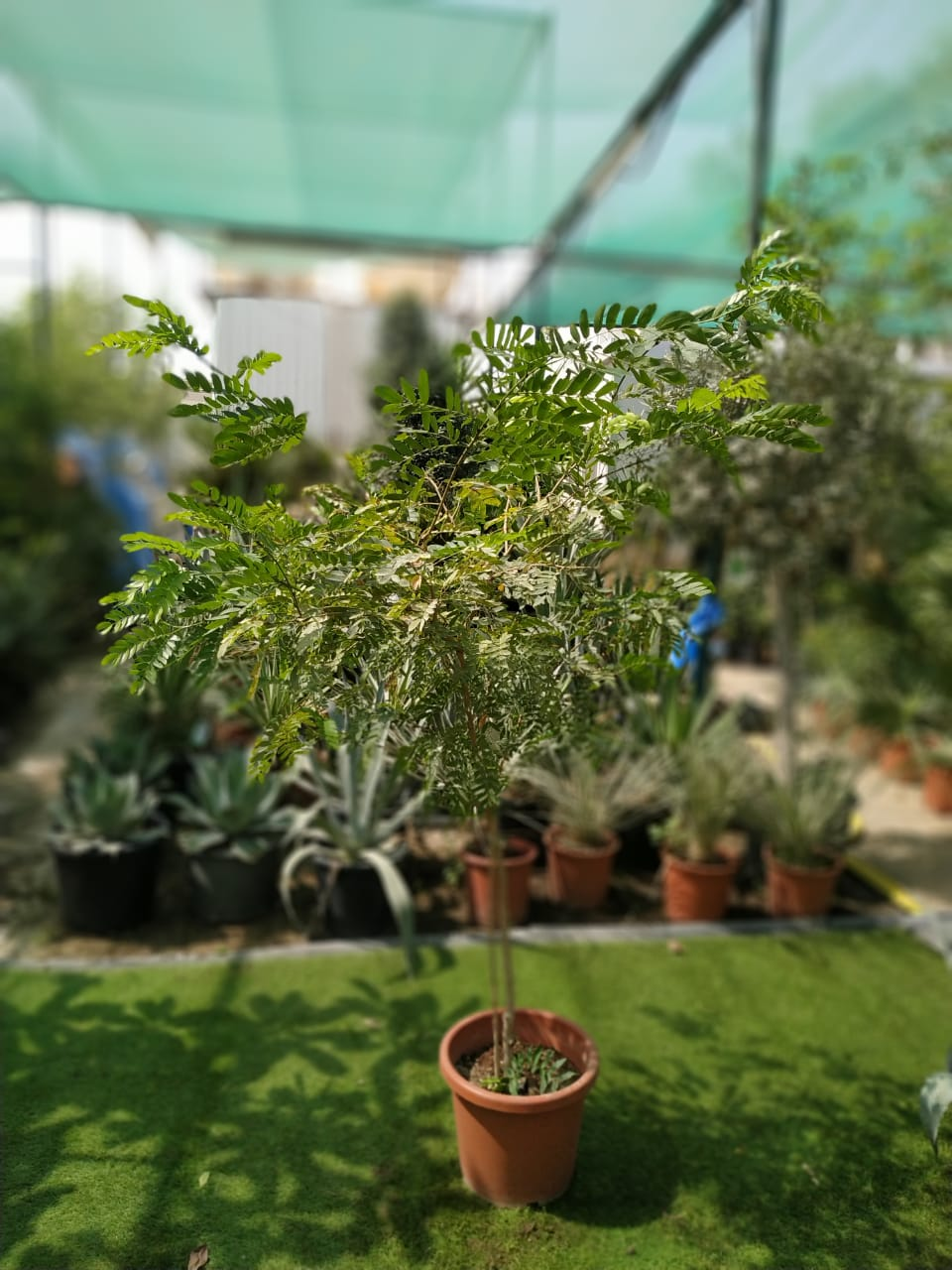 Calliandra Outdoor Plants