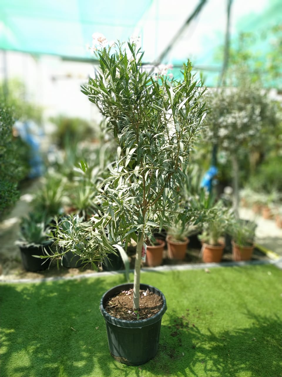 Nerium Spain (Defla) Outdoor Plants