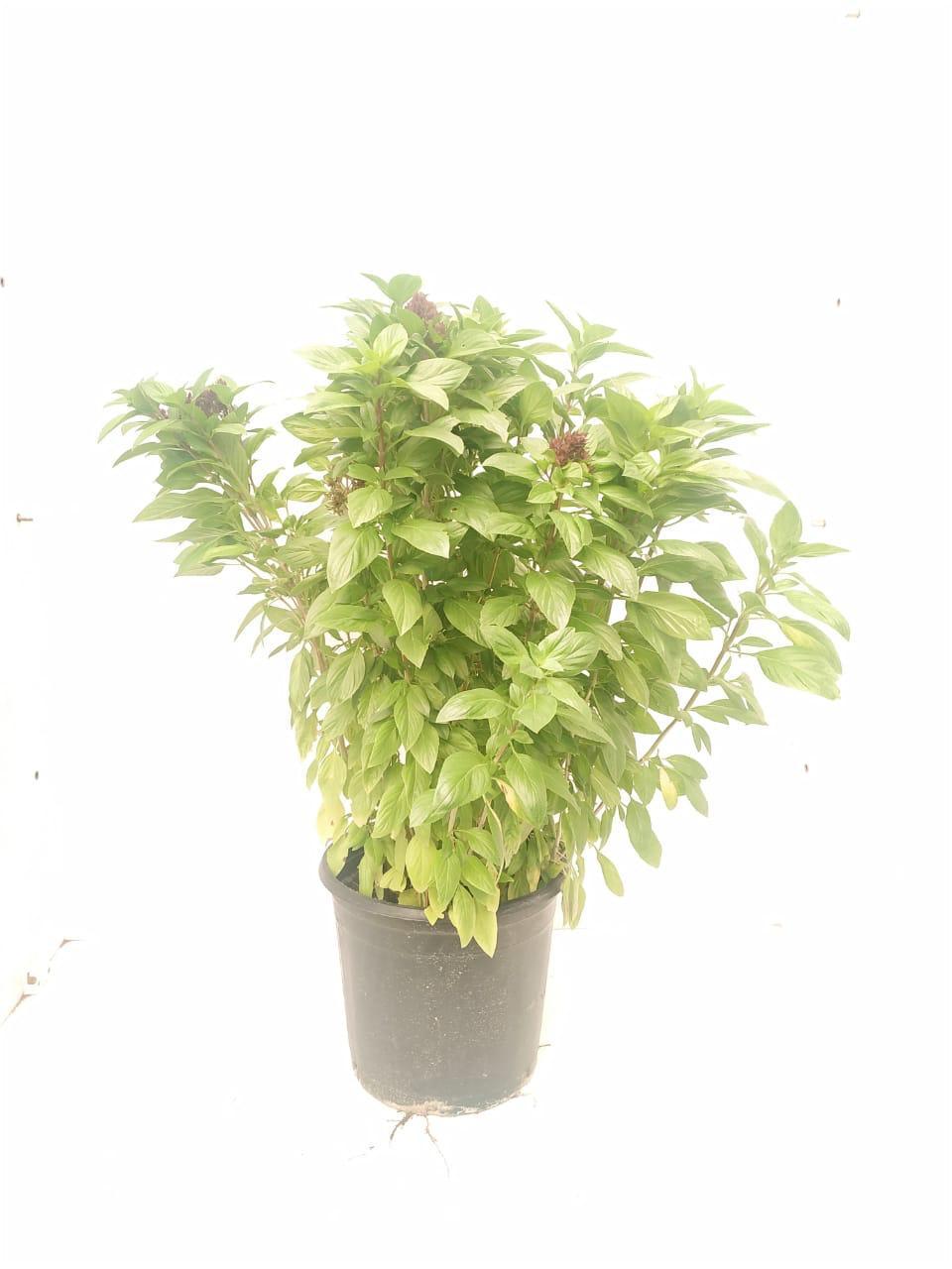 Basil Local (Mushmoom) Outdoor Plants