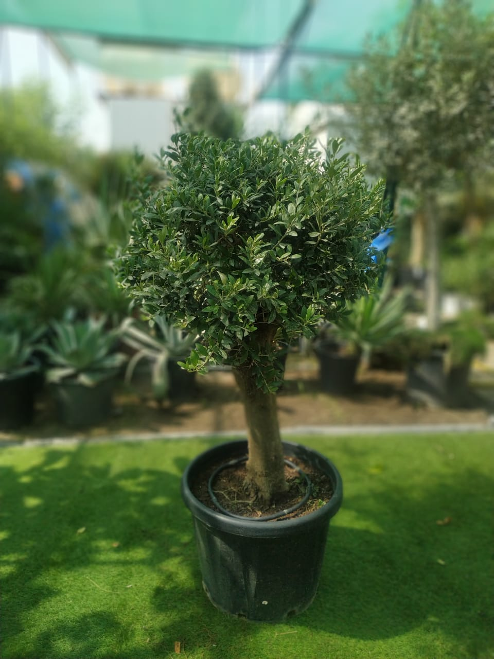 Olive Clear Trunk  'Outdoor Plants'